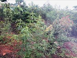 Đắk Nông: Bắt các đối tượng trồng trái phép cây cần sa