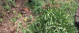 Phát hiện hơn 100 cây cần sa trồng tại nhà một hộ dân