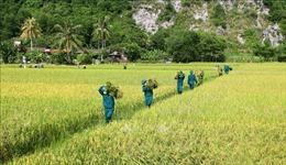 Ứng phó bão số 5: Các địa phương hối hả thu hoạch lúa