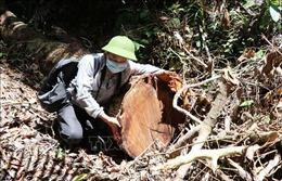 Bắt thêm 2 đối tượng phá rừng tại Sơn Hòa, Phú Yên