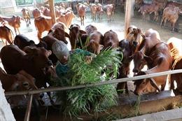 Thu nhập hàng triệu đồng/ngày từ nuôi bò sữa