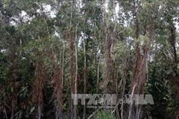 Gần một nửa rừng tràm U Minh Hạ ở mức báo động cháy cao nhất