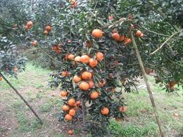 Giá cam sành Trà Vinh giảm mạnh còn 5.000 – 6.000 đồng/kg