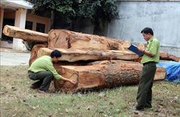 35 hộp gỗ xẻ được cất giấu, ngụy trang dưới gốc ngô đồng, bụi cà phê bỏ hoang