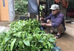 Nghi vấn cấp cây giống giá cao hơn giá thị trường tại huyện nghèo Bình Gia 