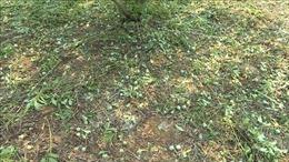 Mưa đá khiến hàng trăm héc ta mận hậu, chanh leo ở Sơn La dập nát
