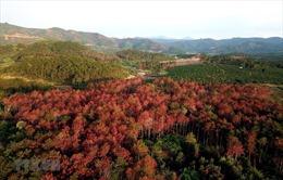 Đang mở rộng điều tra, không có vùng cấm vụ hàng nghìn cây thông ở Lâm Đồng bị hạ độc