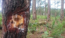 Sáu đối tượng 'bức tử' rừng thông tại Đắk Nông bị tuyên 48 năm tù