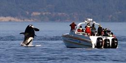 Cá voi sát thủ liên tục tấn công, truy đuổi tàu thuyền ngoài khơi Tây Ban Nha