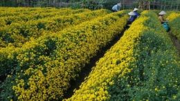 Nông dân 'trúng đậm' nhờ trồng cúc dược liệu