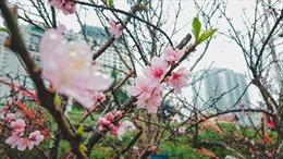 Sắc đào nhuộm đỏ chợ hoa lớn nhất Thủ đô