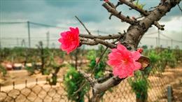Làng trồng đào Nhật Tân hối hả mùa vụ mới