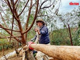 Người dân Nhật Tân tất bật tuốt lá, 'thúc' đào ra hoa đúng vụ Tết