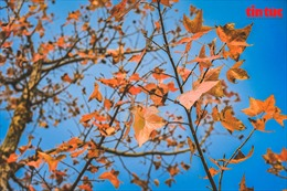Phong lá đỏ 'hâm nóng' trời đông Hà Nội