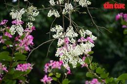 Lại một mùa Hà Nội trắng trời hoa sưa