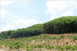 Trồng cây ngắn ngày thay thế rừng phòng hộ, đặc dụng