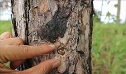 Củng cố hồ sơ, xử lý đối tượng đầu độc rừng thông để chiếm đất mặt đường