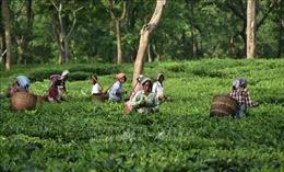 Trà Assam đặc sản lập kỷ lục thế giới với giá bán hơn 1.000 USD/kg