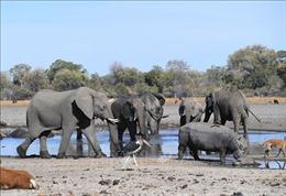 Hơn 100 con voi chết ở Botswana nghi do nhiễm bệnh than