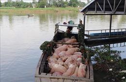 Vận chuyển trái phép hơn 3,7 tấn lợn từ Campuchia về Việt Nam