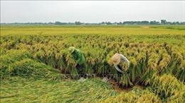 3.000 ha lúa gần thu hoạch bị đổ do mưa to, gió mạnh