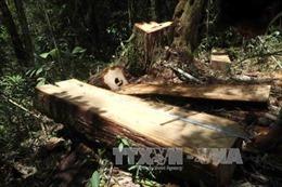Xử lý nghiêm vụ phá rừng Pơ mu tại Đắk Lắk