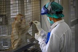 Thái Lan thử nghiệm mẫu vaccine mRNA trên khỉ đuôi ngắn