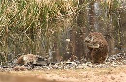 Cháy rừng tại Australia tác động nghiêm trọng tới 3 tỉ động vật hoang dã
