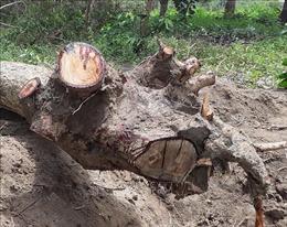 Quần thể gỗ hương quý hiếm ở Gia Lai bị xâm phạm