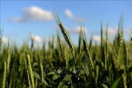 Quốc gia đầu tiên trên thế giới cấp phép sản xuất và tiêu thụ lúa mì biến đổi gen