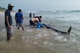 Sri Lanka nỗ lực cứu hộ hàng trăm cá voi hoa tiêu mắc cạn