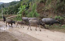 Hơn 100 con gia súc ở Lai Châu bị chết rét