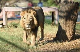 Nam Phi lên kế hoạch chấm dứt nuôi nhốt sư tử vì mục đích thương mại