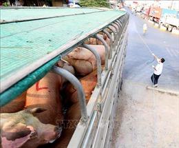 Kiểm soát dịch bệnh tại các lò giết mổ gia súc