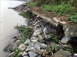Sạt lở bãi sông gây nguy hiểm cho đê hữu sông Kinh Thầy