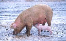 Cấy ghép nội tạng lợn cho người, giấc mơ không còn xa vời