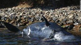 Xác cá nhà táng mang thai bụng chứa 22 kg rác thải nhựa dạt vào bờ biển