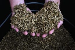 Ấu trùng giòi - tương lai mới cho ngành thực phẩm