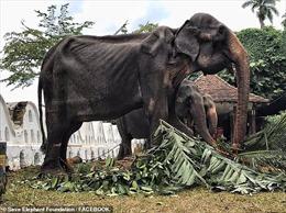 Hình ảnh đau lòng 'cụ voi' 70 tuổi gầy trơ xương biểu diễn tại Sri Lanka