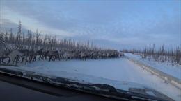 Mùa di cư, hàng nghìn con tuần lộc tràn ra đường gây tắc nghẽn ở Siberia