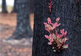 Chồi non tái sinh trên tàn tro cháy rừng Australia