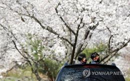Sáng kiến giúp người Hàn Quốc ngắm hoa anh đào nở giữa mùa dịch