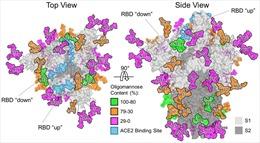 Phát hiện cách virus SARS-CoV-2 ngụy trang nhằm qua mặt hệ miễn dịch