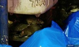 Đói vì lệnh phong tỏa, chuột tràn lan trên đường phố Nhật Bản