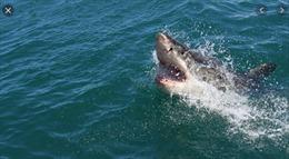 Cá mập 4m lượn lờ trong khu resort vắng người vì lệnh phong toả