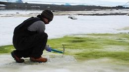Biến đổi khí hậu khiến tuyết Nam Cực hóa xanh