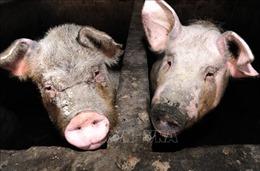 Tiến sĩ Fauci: Mỹ cần để ý chủng cúm lợn mới ở Trung Quốc