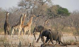 Hoạt động của công ty mỏ Trung Quốc đe dọa động vật quý hiếm tại Zimbabwe