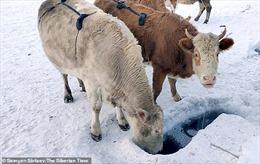 Nông dân Nga thiết kế 'áo lót' cho bò để giữ ấm tại ngôi làng lạnh nhất thế giới