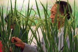 Vĩnh biệt 'cha đẻ' của giống lúa lai Trung Quốc
